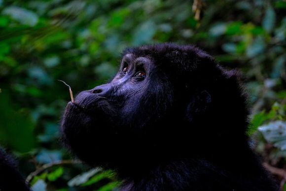 Gabon Gorilla