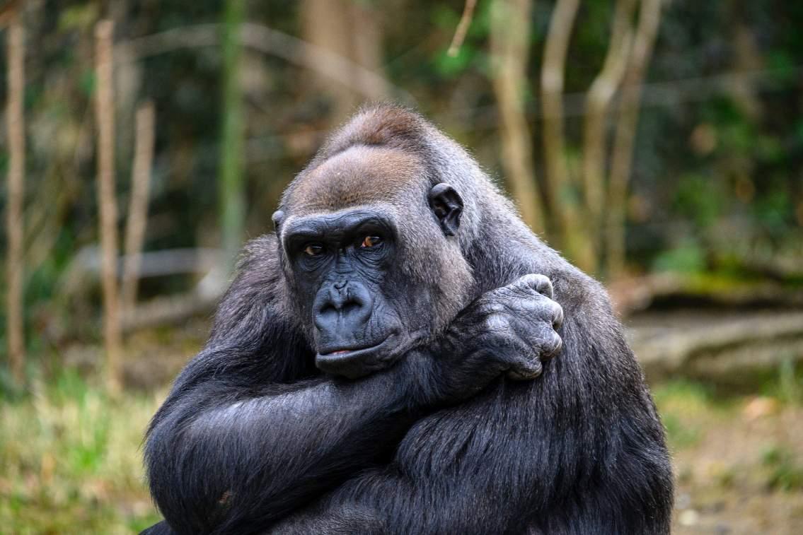 Gabon: Forest Primates of West Africa